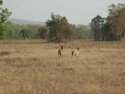 Tigers of India Picture Gallery of Kanha National Park-Deer
