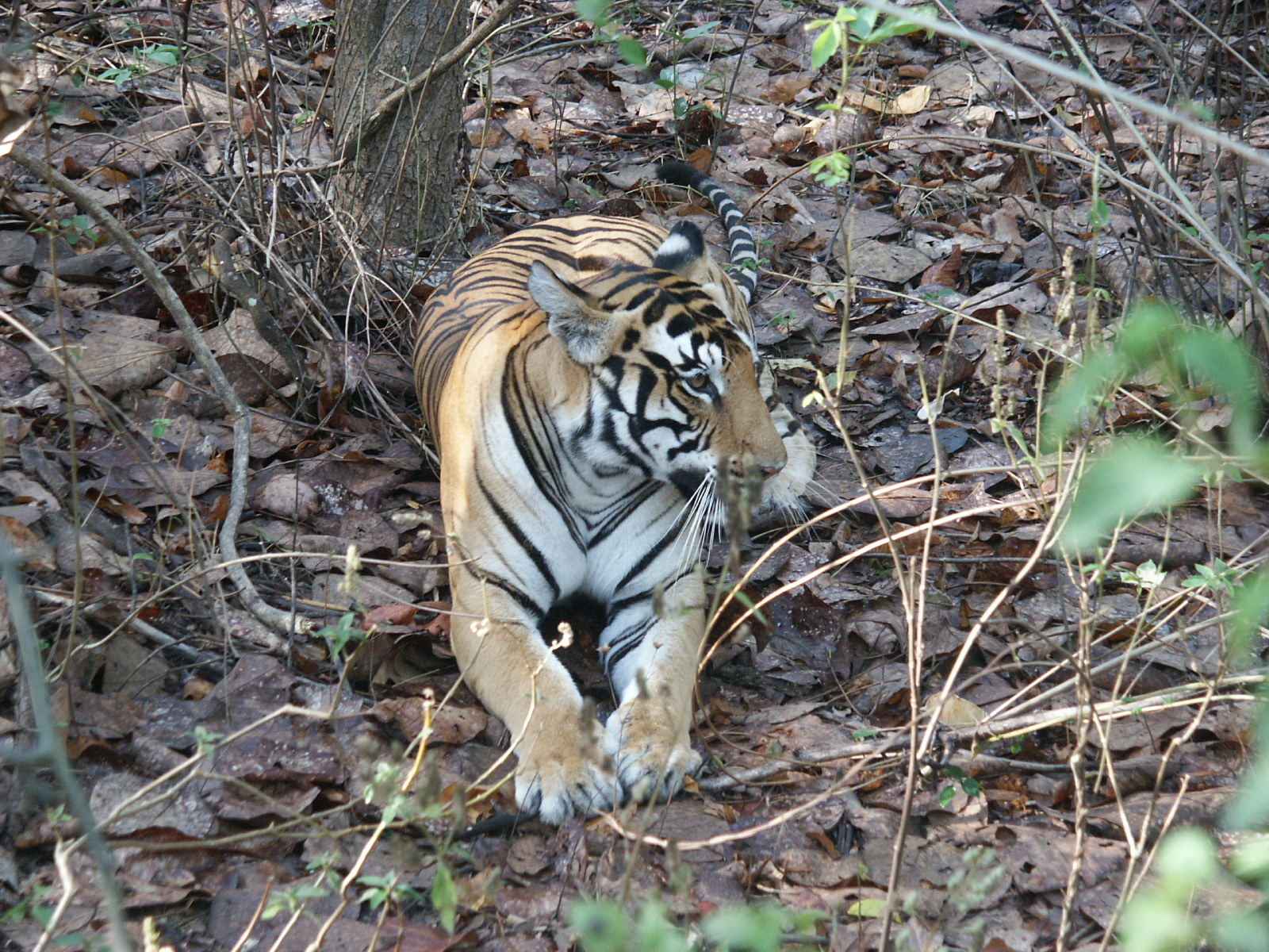 Tigers of India Picture Gallery of Kanha National Park-Tiger