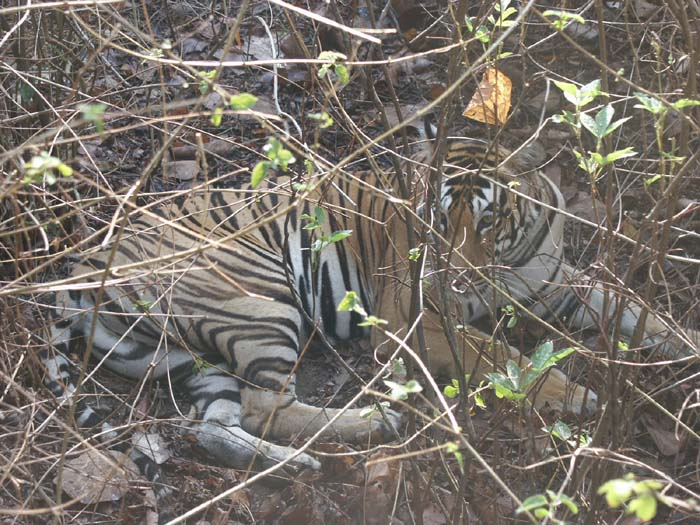 Picture Gallery of Kanha National park-Tiger