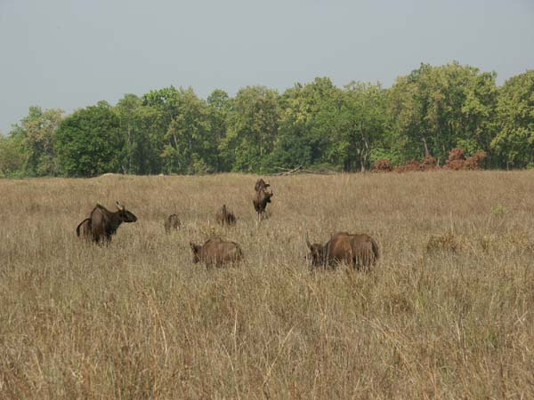 Tigers of India Picture Gallery of Kanha National Park-Yak