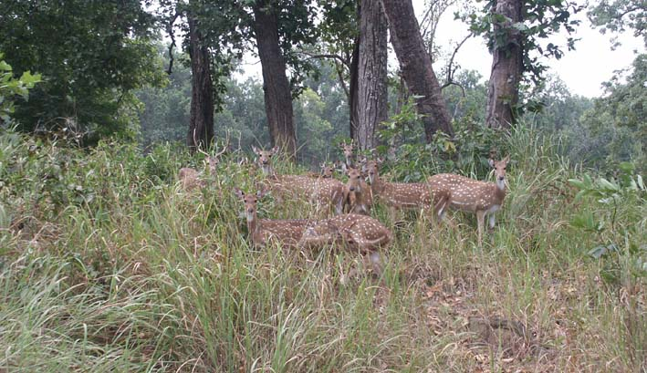 Tigers of India Picture Gallery of Kanha National Park Cheetals
