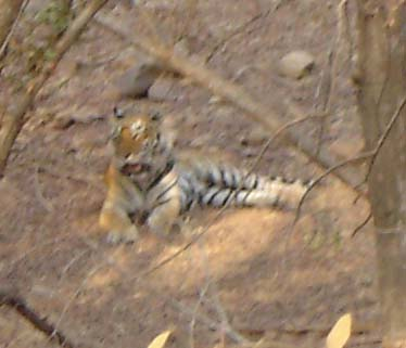Picture Gallery of indian national parks Ranthambhore Tigers