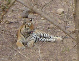 Picture Gallery of indian national parks ranthambhore Tiger
