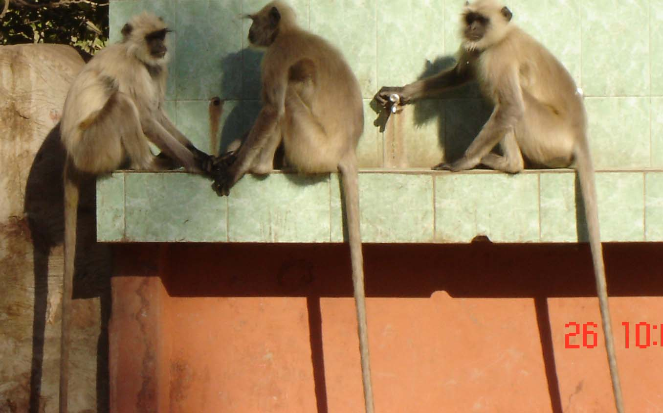 Picture Gallery of indian national parks ranthambhore Monkeys